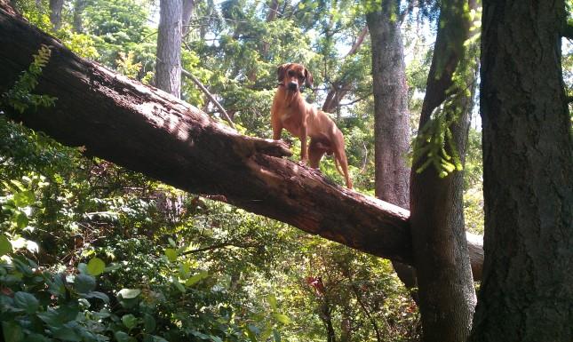 Rhodesian Ridgeback-tree-2