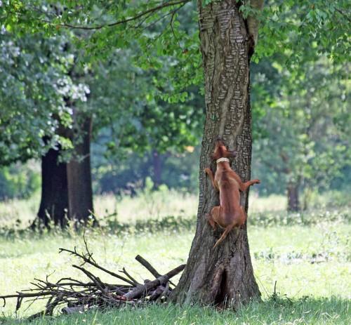 Rhodesian Ridgeback-tree
